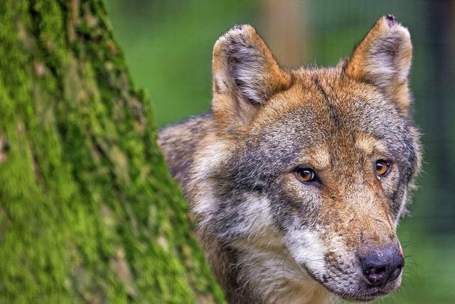 Ist der Wolf noch im Landkreis?
