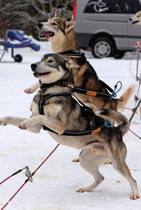 Sie würden ja gerne rennen, die Schlit...s Wochenende geplante Rennen abgesagt.    Foto: Wolfgang Scheu