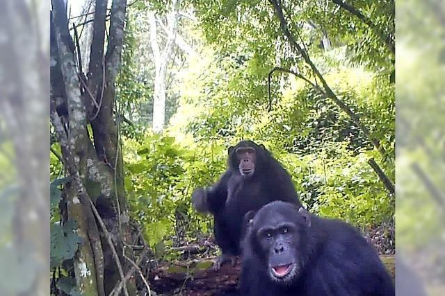 Schimpansen gesucht