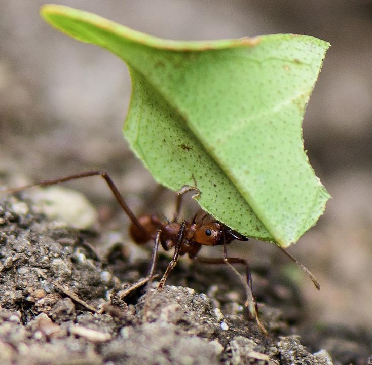 Die Blattschneiderameise schleppt ganz schön was weg.  | Foto: vaclav - stock.adobe.com