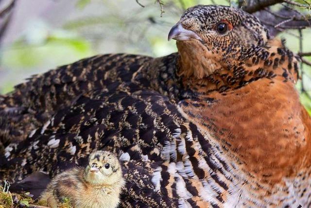 Das Auerhuhn ist vom Aussterben bedroht – doch es gibt Hoffnung