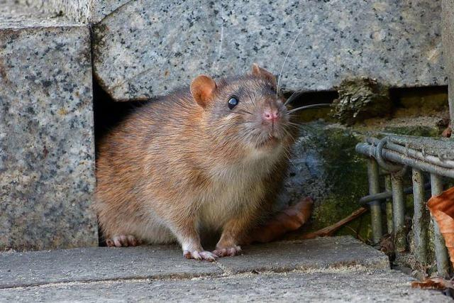 Wie es der Ratte ans Fell geht