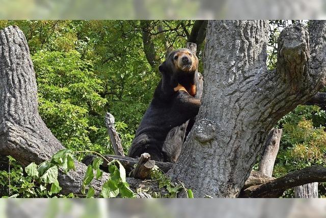 Europas ältester Malaienbär ist gestorben
