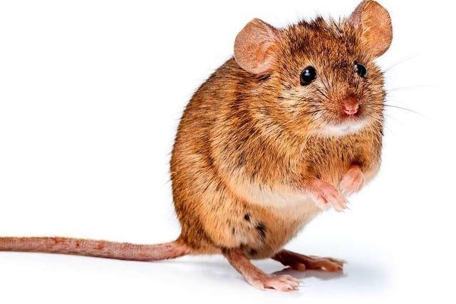In Freiburg fanden Kontrolleure Mäusekot auf einer Brötchentheke