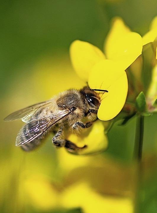 Um die Biene geht es bei dem Volksbegehren.  | Foto: Fabian Sommer (dpa)