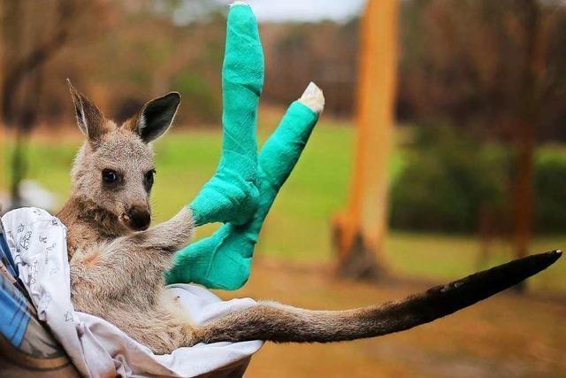 Zoos im Südwesten helfen Tieren in Australien