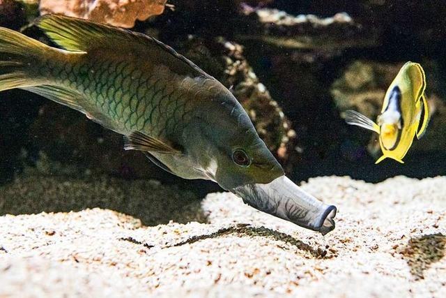 Die Stülpmaullippfische sind die neusten Bewohner des Basler Zoos