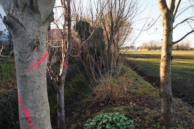 In Mahlberg sollen Bäume an einem Entwässerungsgraben weg − Anwohner sind dagegen