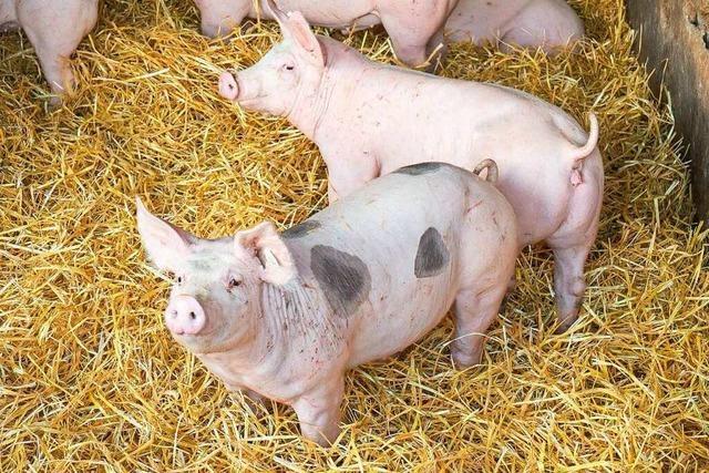Gereiftes Schweinefleisch wird immer beliebter - nicht nur bei Spitzenköchen