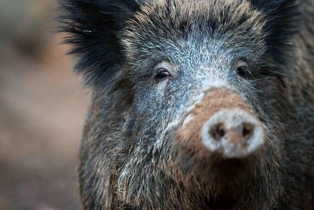 Wildschweine durchpflügen Rheingärten in Neuenburg