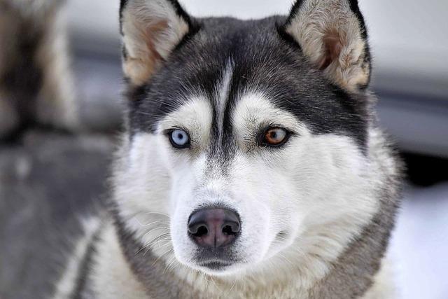 Todtmoos im Zeichen der Schlittenhunde
