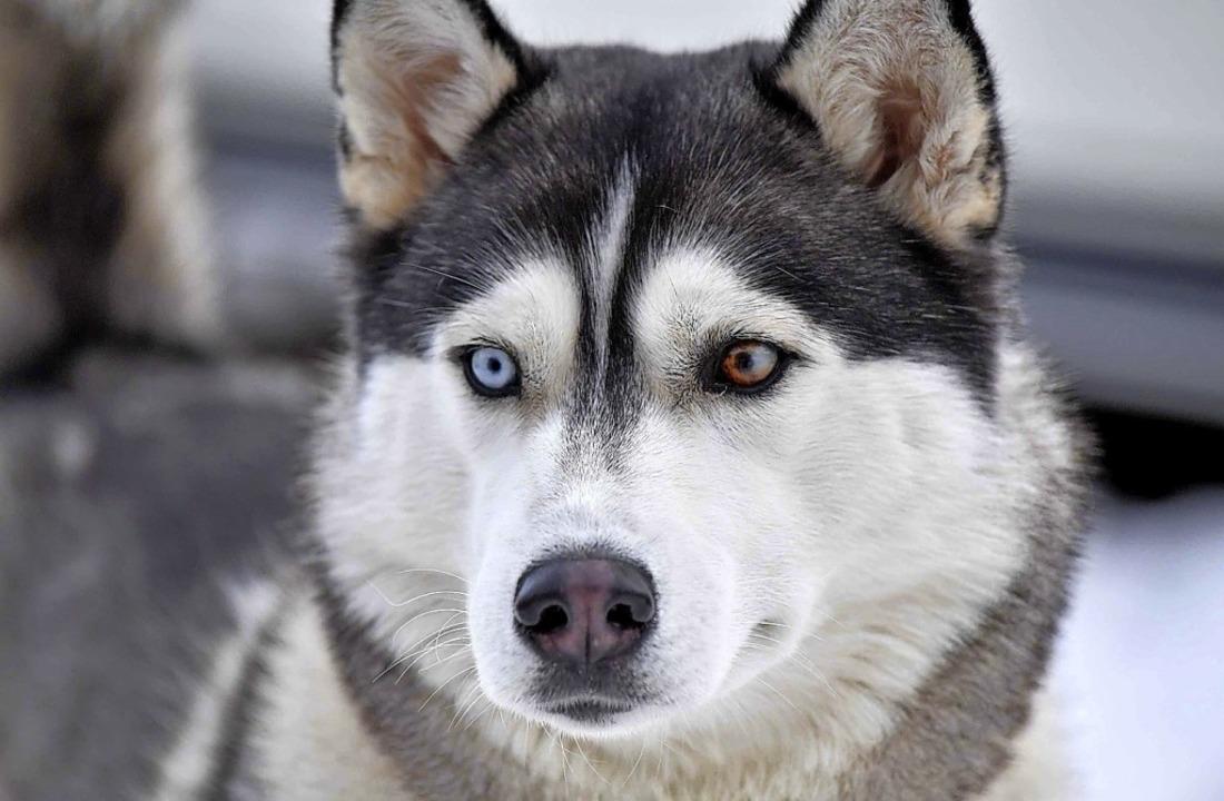 Schlittenhunde gibt es in Todtmoos zu bestaunen.  | Foto: Wolfgang Scheu