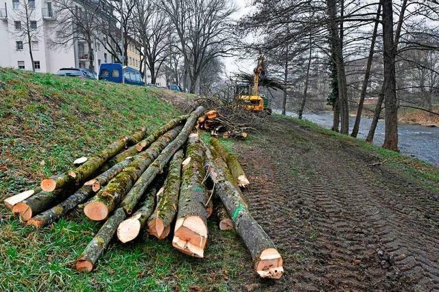 Eschen, Experten, Emotionen: Baumfällungen lösen in Freiburg Kritik aus