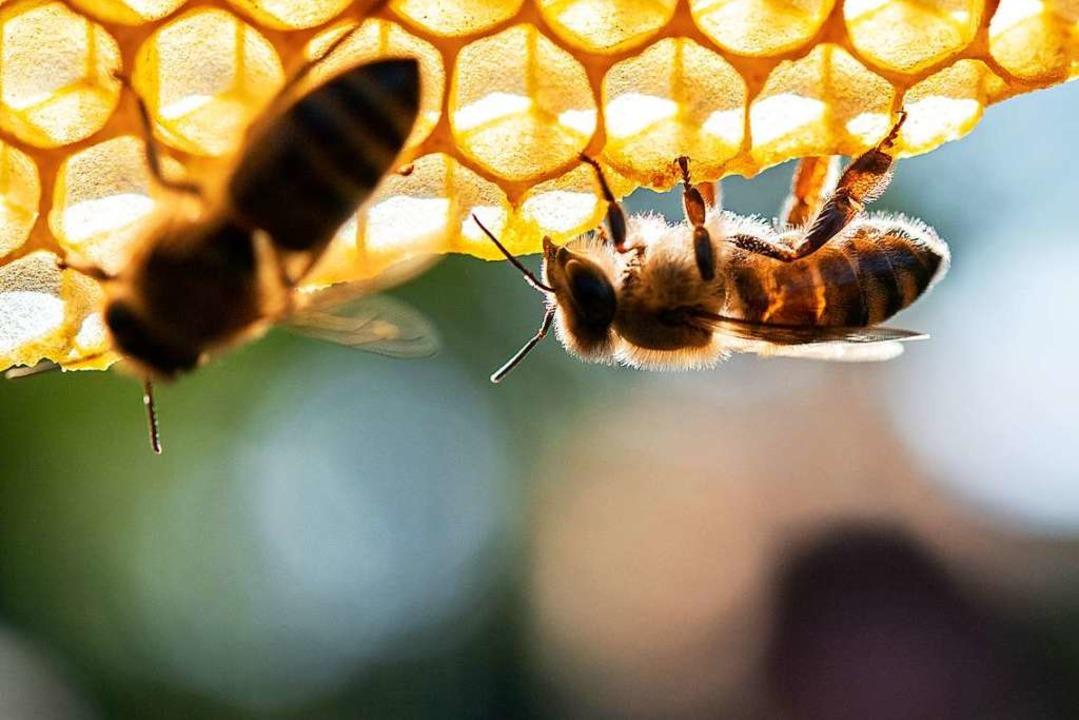Als zusätzlichen Schutz von Insekten s...ische Pflanzenschutzmittel verzichten.    Foto: Sebastian Gollnow (dpa)