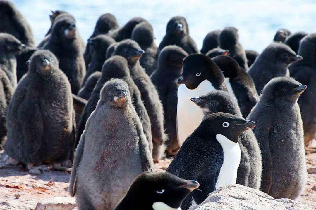 Pinguine gehören zu den bekanntesten B...gen – noch ganz in grauem Flaum.  | Foto: --- (dpa)