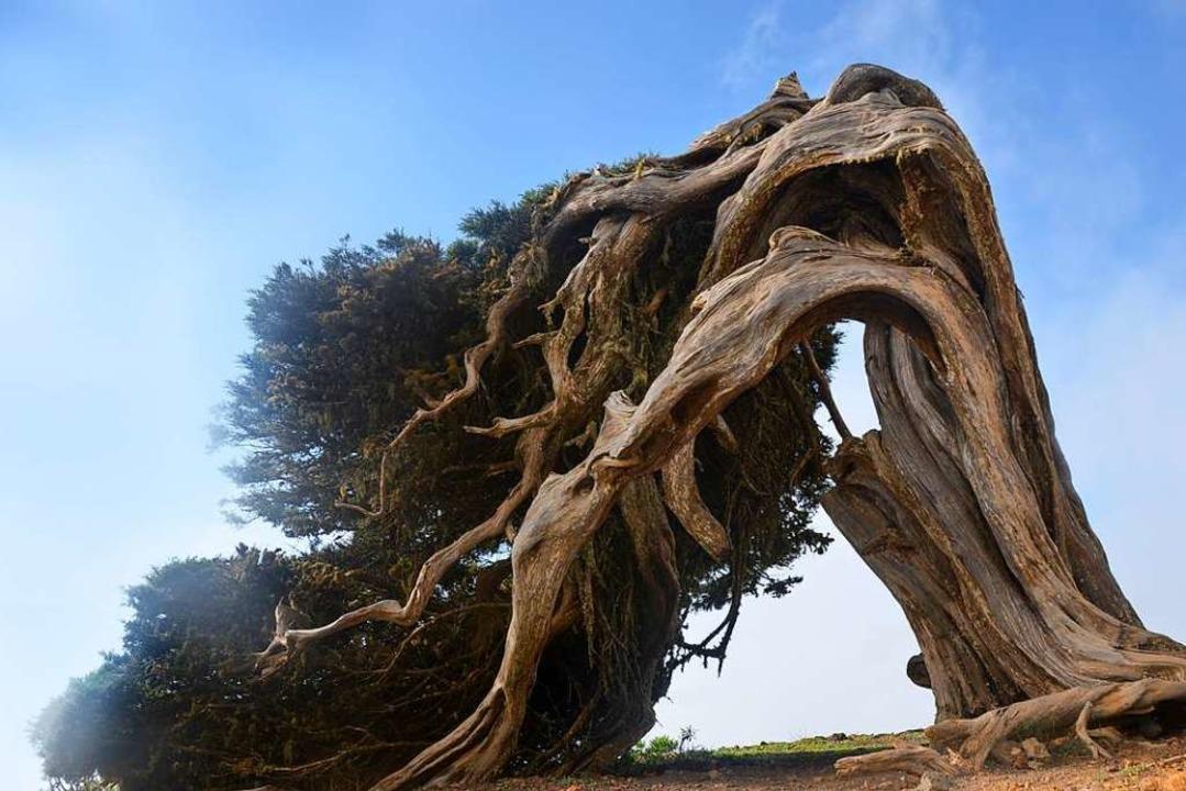 Vom Winde verdreht: skurrile  Wacholderbäume  | Foto: Anita Fertl