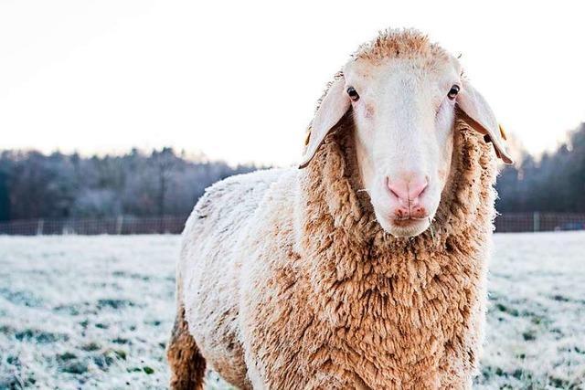 Polizei erschießt Schaf, das von einem Hund angegriffen worden war