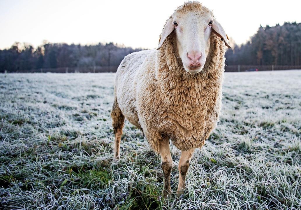 In Wehr musste ein Schaf erschossen we...ehrmals von einem Hund gebissen wurde.  | Foto: Tom Weller