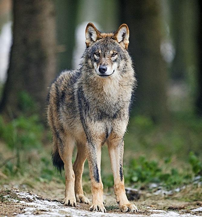 Der Wolf macht den Landwirten im Münst...rden im März 2019 Wolfshaare entdeckt.  | Foto: Bernd Thissen (dpa)