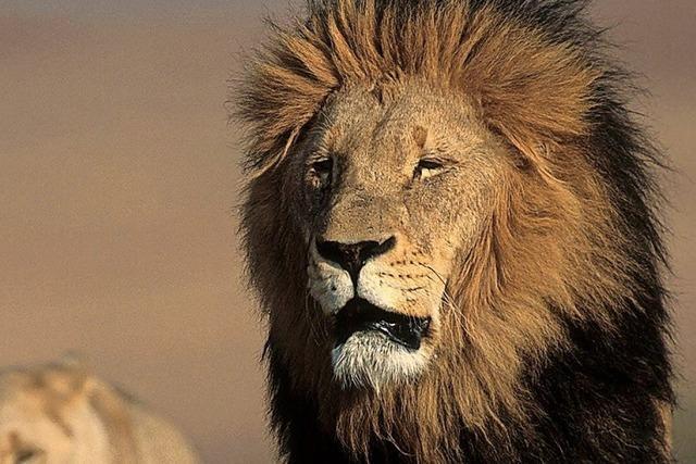 Zähne und Knochen illegal getöteter Löwen werden nach Asien exportiert