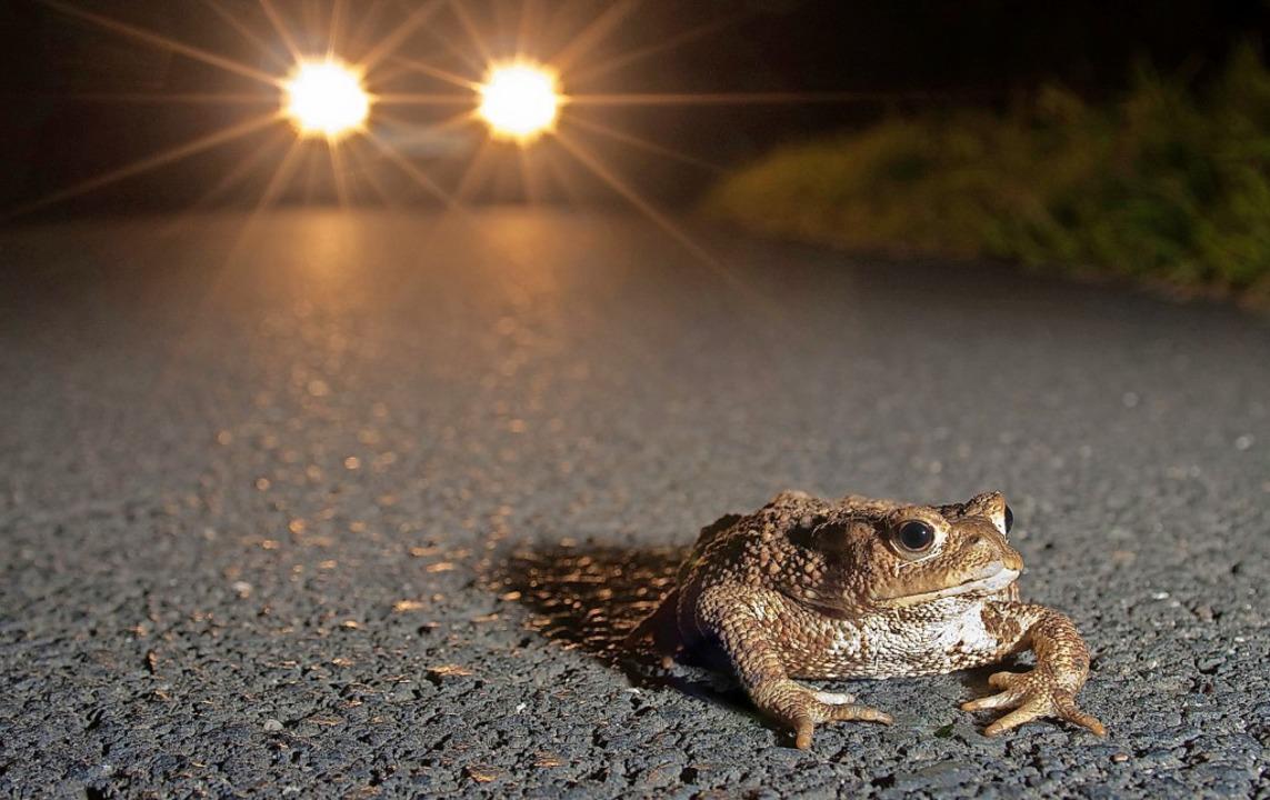 Müssen Kröten zu ihren Laichplätzen St...queren, sind sie besonders gefährdet.   | Foto: Jonathan Fieber/Sp-X