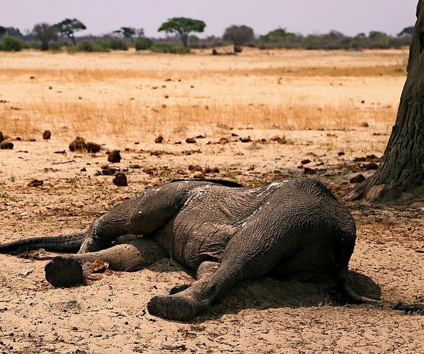Laut den Behörden in Simbabwe sind  me...0 Elefanten bei der Dürre gestorben.    | Foto: - (dpa)