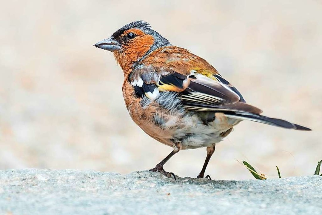 "Auch Bergfinken konnten bei der &#8222... Wintervögel"" beobachtet werden.  | Foto: lorabarra / stock.adobe.com"