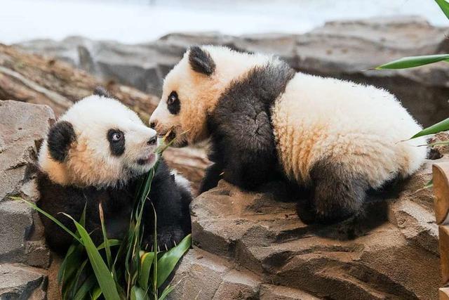 Die zuckersüße Pandamie