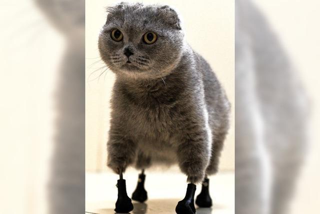 Katze läuft mit Titan-Prothesen