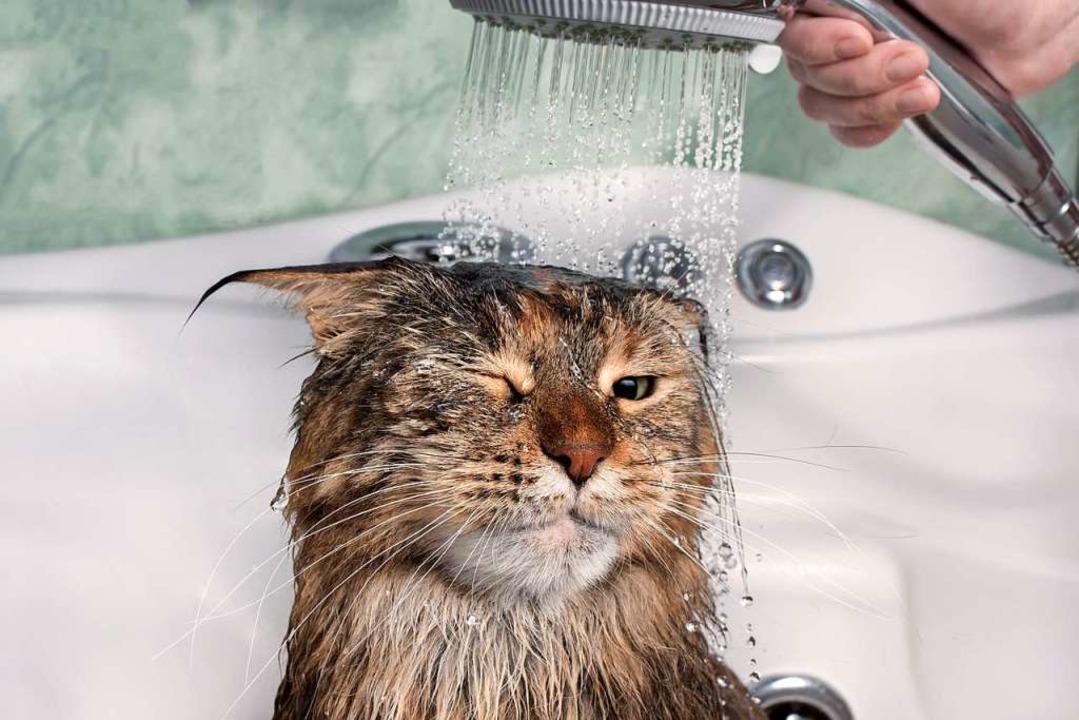 Nicht alle Katzen mögen kein Wasser.  | Foto: ollegn (stock.adobe.com)