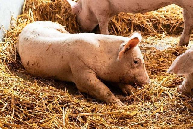 Im ersten Schweinehotel Deutschlands fühlen sich die Tiere sauwohl