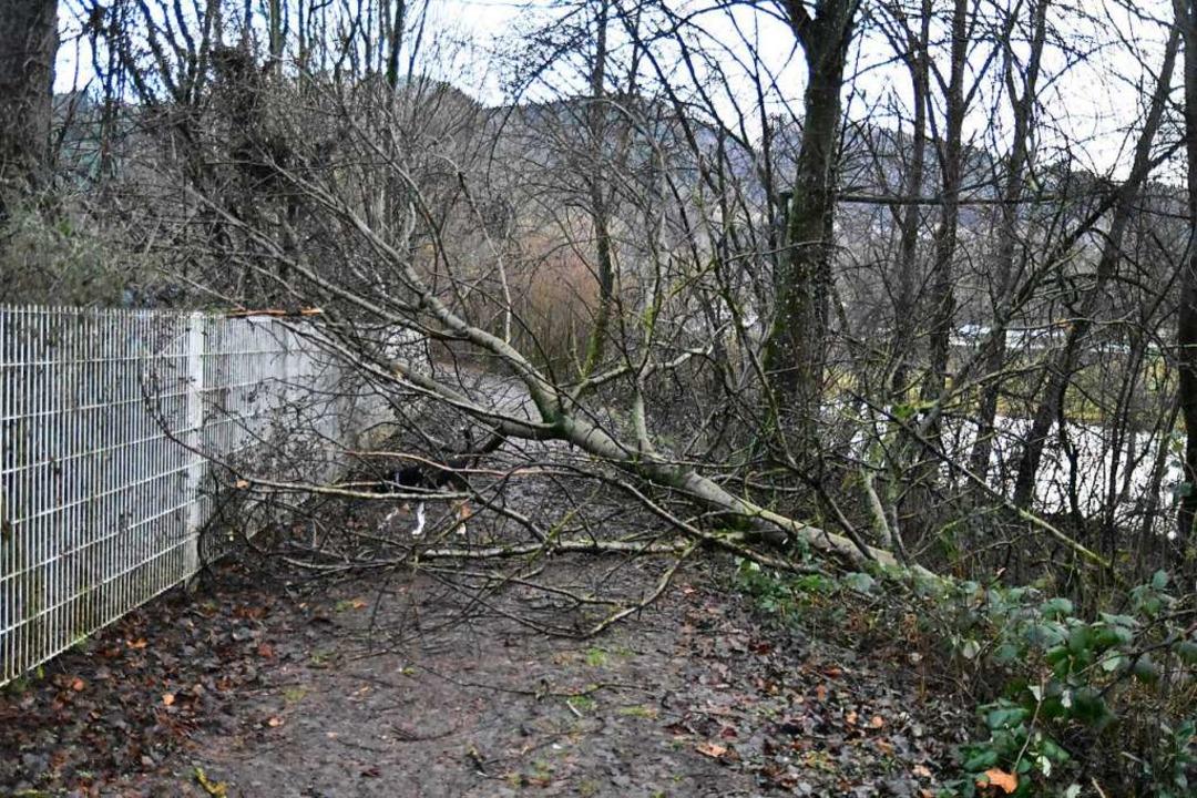 Umgestürzte Bäume – wie hier bei...11; gab es zahlreich im Kreis Lörrach.    Foto: Angelika Schmidt