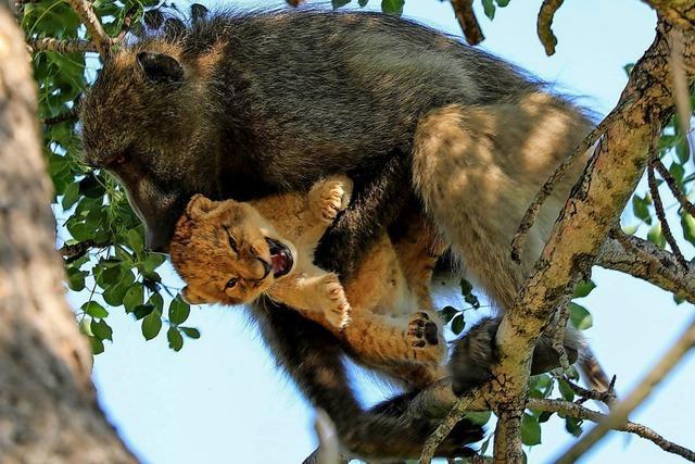Löwenbaby von Pavianen entführt – und adoptiert