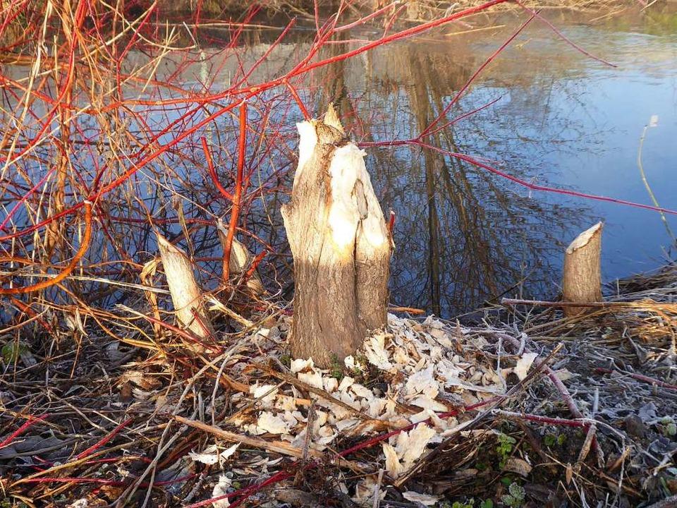 Am Ufer des Mühlbachs wurden mehrere Bäume komplett durchgenagt.  | Foto: Manfred Frietsch