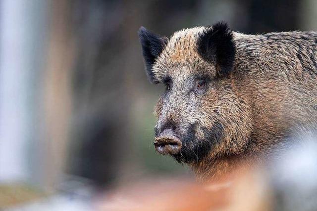 Skurrile Wilderei: Koch nimmt tote Wildsau vom Straßenrand mit