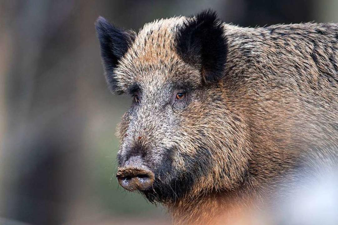 An die zwei Zentner schwer, schätzt Fö...ach das tote Wildschwein (Symbolfoto)   | Foto: Lino Mirgeler (dpa)