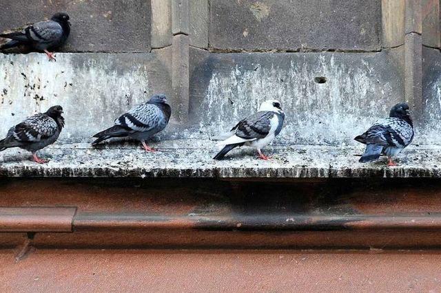 Experten fordern bessere Betreuung von Tauben in Freiburg