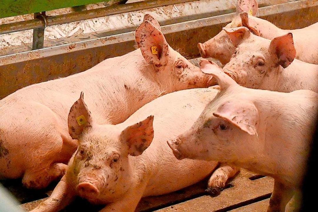 Mastschweine werden meist nur drei Monate alt (Archivbild)  | Foto: Carsten Rehder