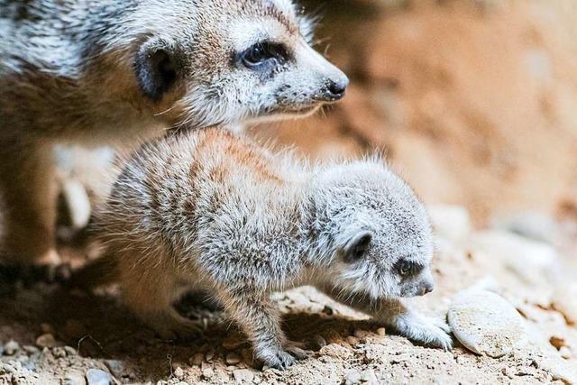 Im Basler Zoo sind zwei Erdmännchen aus dem Untergrund aufgetaucht