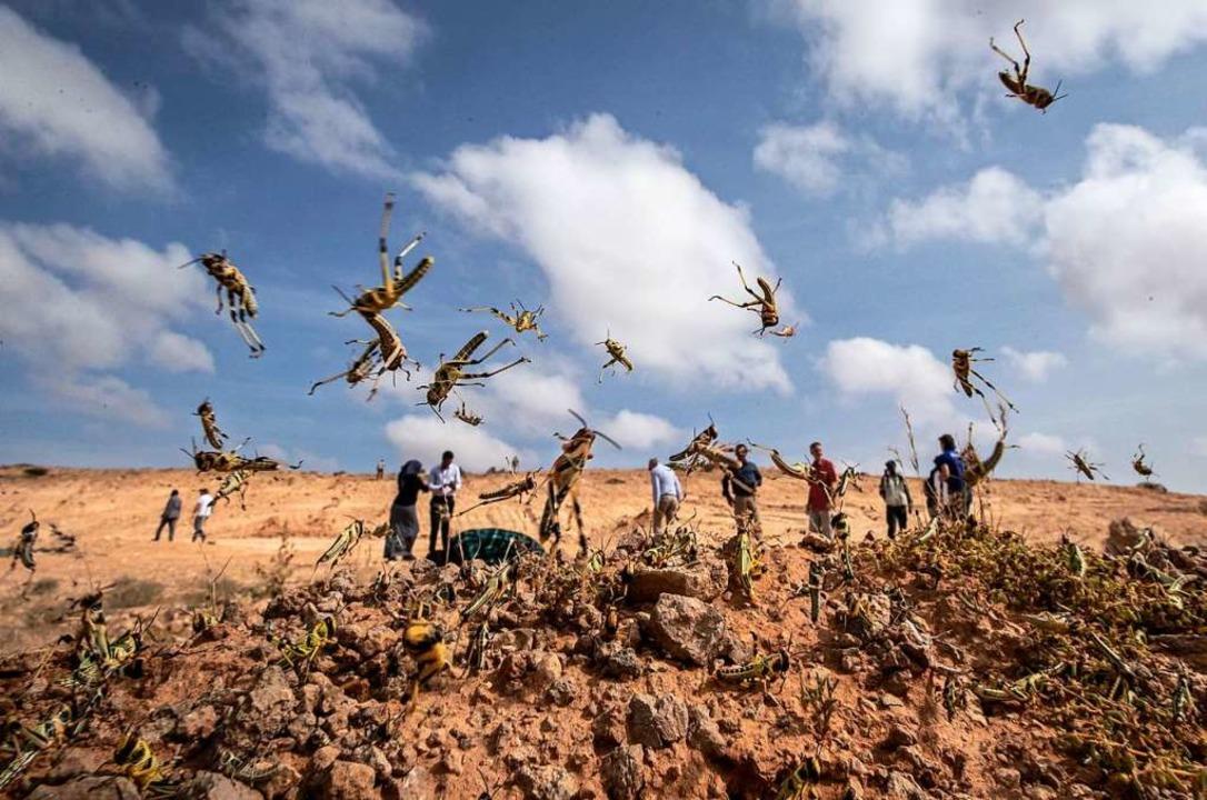 Die vielen Heuschrecken in Teilen Asie...ld aus dem afrikanischen Land Somalia.  | Foto: Ben Curtis (dpa)