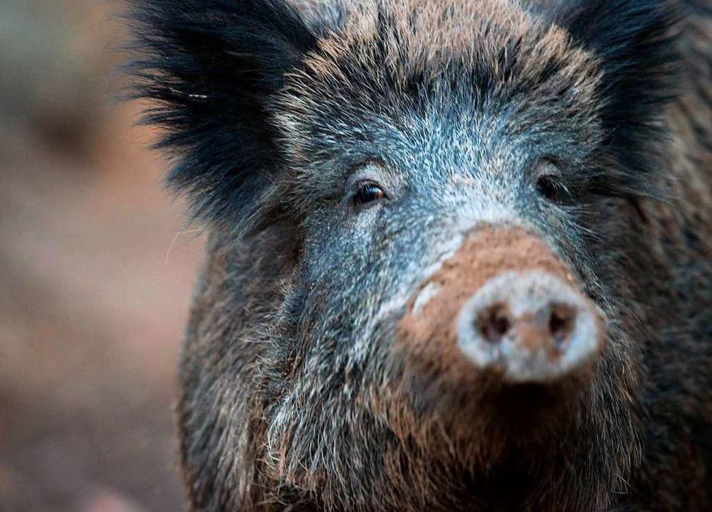 Auch Wildschweine werden oft von Wildtierkameras geblitzt.  | Foto: Lino Mirgeler