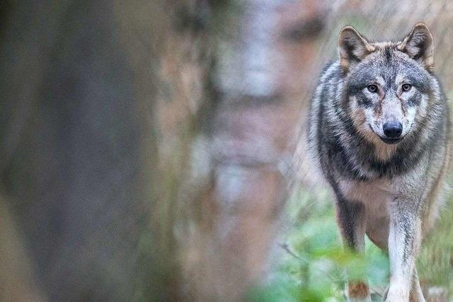 Wölfe können künftig leichter abgeschossen werden