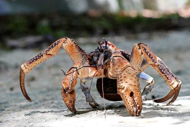 Warum laufen Krabben seitwärts?