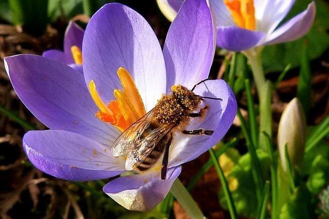 Die Bienen sind schon im Januar unterwegs