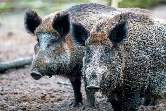 Unangenehmer Geruch soll in Pfaffenweiler Wildschweine fernhalten