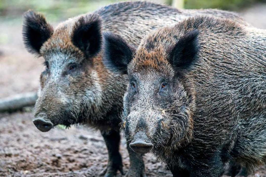 Sie sollen Wohngebieten nach Möglichkeit fern bleiben: Wildschweine.    Foto: Jens Büttner