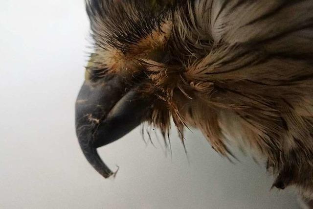 Lahrer Tierheim findet einen misshandelten Wildvogel, der später stirbt