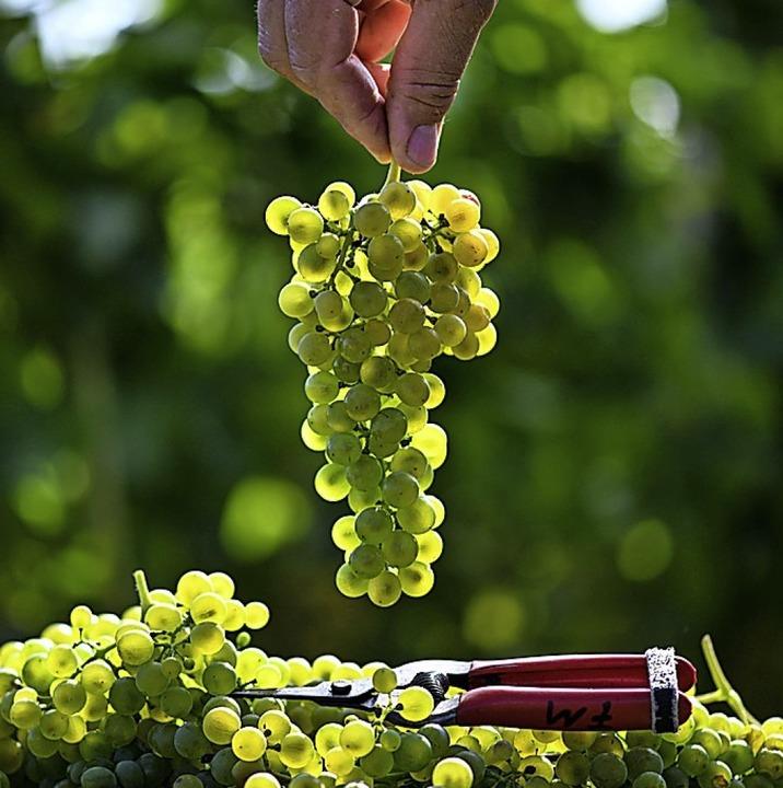 Künftig sollen die Trauben mit weniger Pestiziden behandelt werden.  | Foto: Patrick Seeger (dpa)