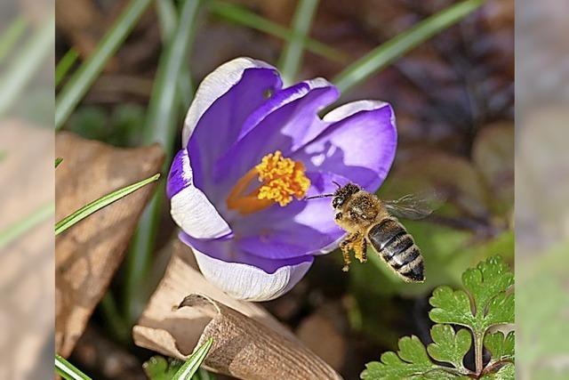 BLÜTENLESE: Bienenflug