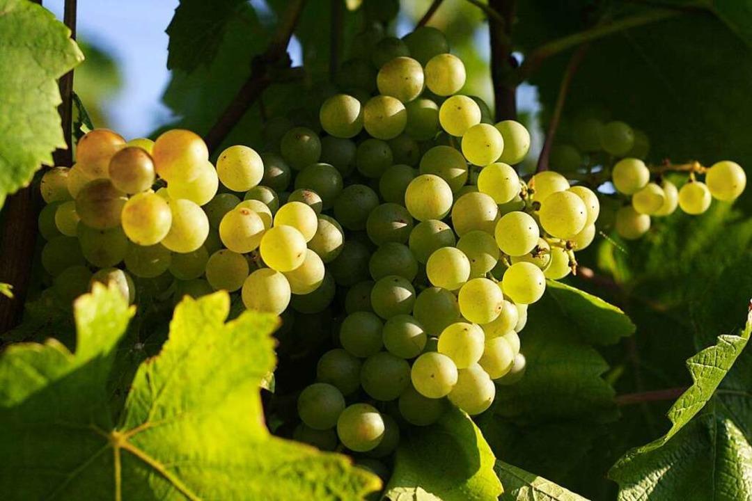 Weintrauben an einer Rebe.  | Foto: Hans-Peter Ziesmer